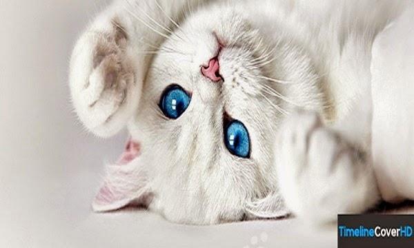 photo photo chat blanc yeux bleus