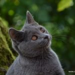 Chat chartreux bleu