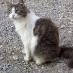 chat gris et blanc