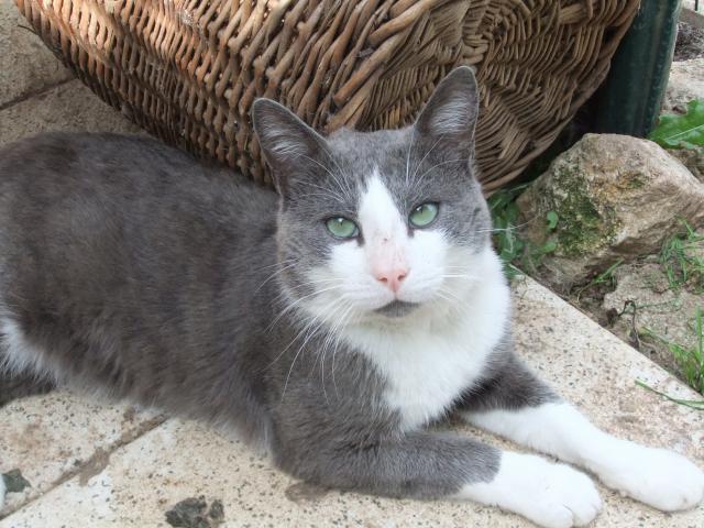 photo photo chat gris et blanc