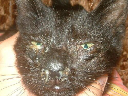 photo photo maladie yeux chat