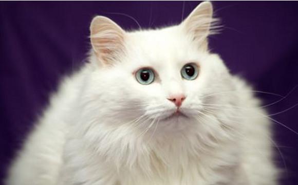 photo angora turc blanc