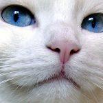 chat blanc yeux bleus