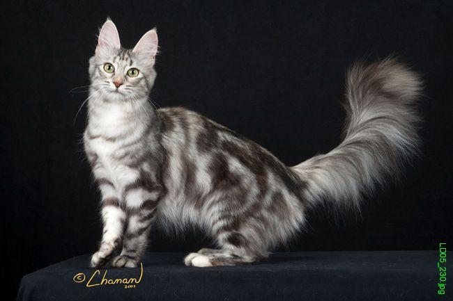 photo angora turc gris