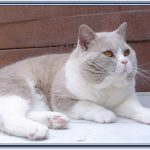 British shorthair blanc