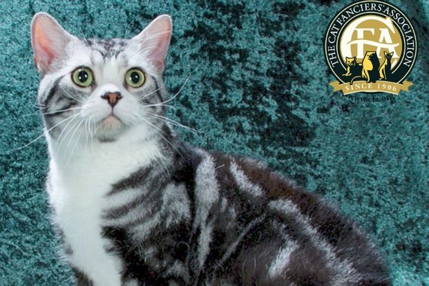 photo chat american wirehair