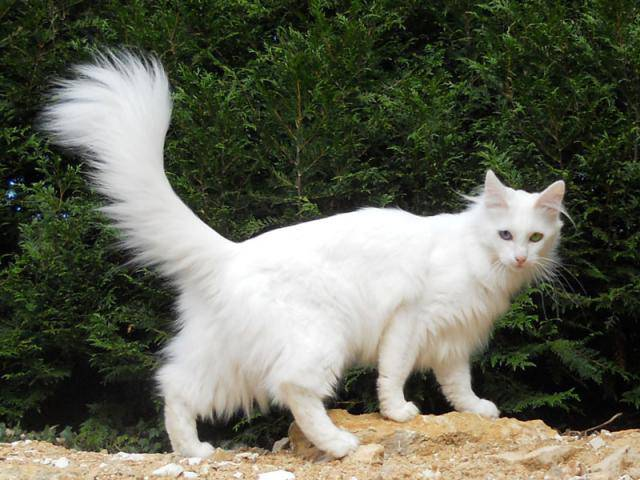 photo chat angora turc
