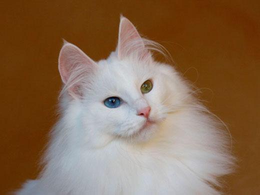 photo chat birman blanc