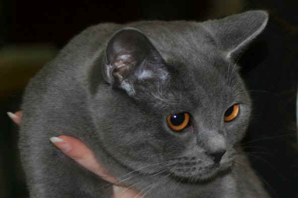 photo chat chartreux angora