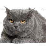 Chat chartreux blanc