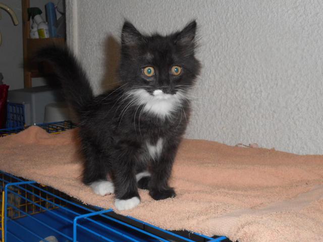 photo chat européen angora