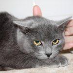 Chat européen gris et blanc