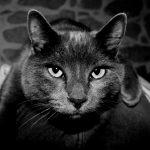 Chat européen noir et blanc