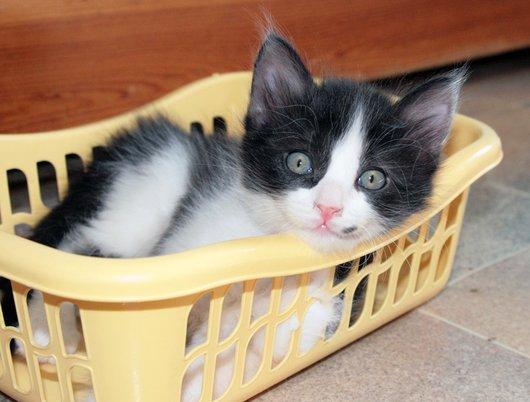photo chat européen noir et blanc