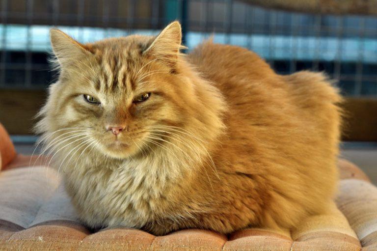 photo chat européen roux
