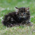 Chat gouttière angora