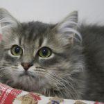 Chat gouttière poils longs