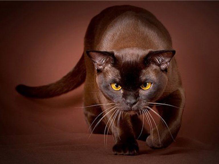photo chat havana brown