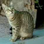 Chat Mau arabe