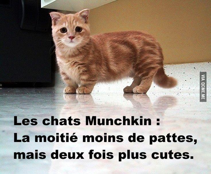 photo photo chat munchkin
