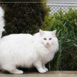 Chat norvégien blanc