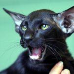 chat oriental noir