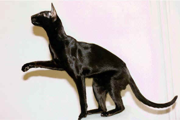 photo photo chat oriental noir