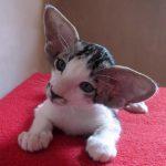 Chat Oriental shorthair