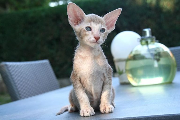 photo chat oriental shorthair