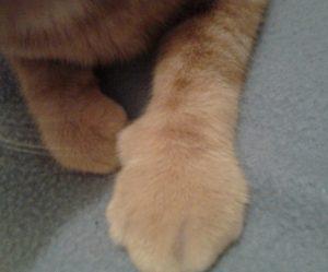 chat patte cassée