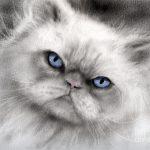 Chat persan bleu
