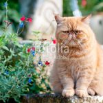 chat persan roux