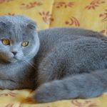 Chat scottish fold bleu