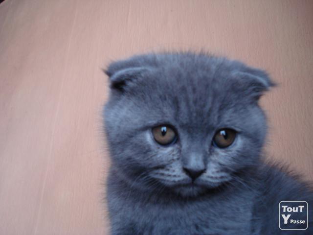 photo chat scottish fold bleu