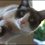 Chat Snowshoe