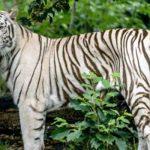 chat tigré blanc