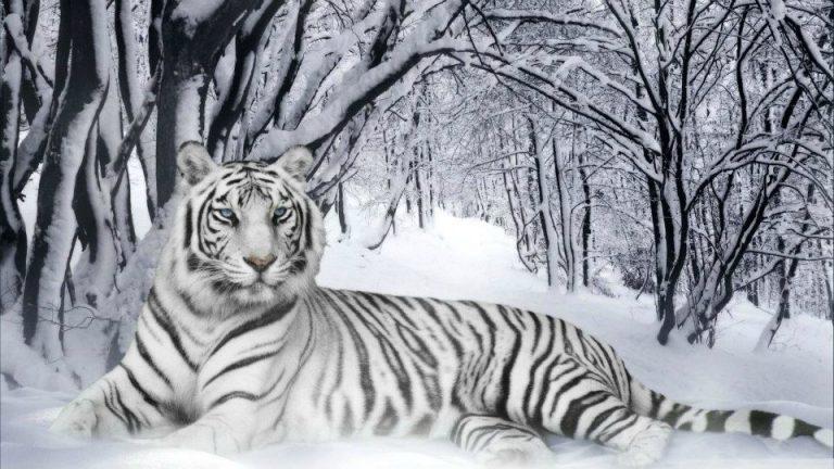 photo photo chat tigré blanc