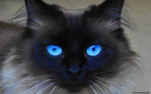 photo photo chat yeux bleu