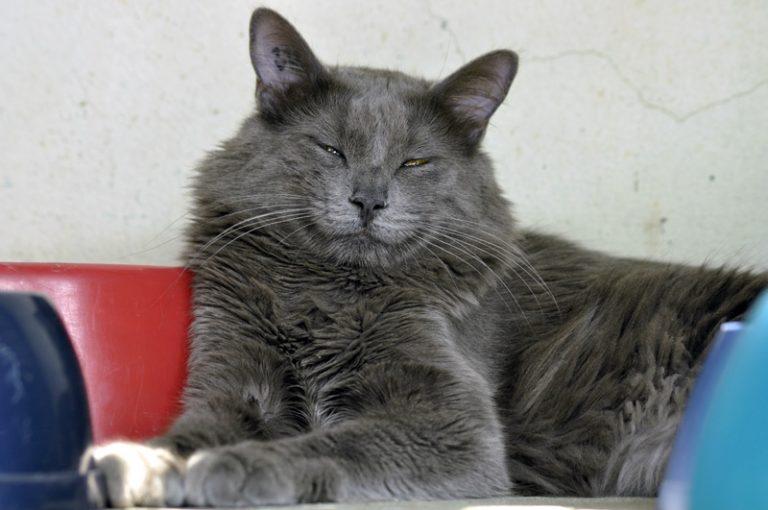 photo chat européen gris