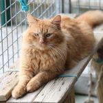 Chat européen roux