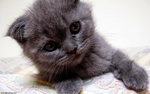 photo photo chat gris