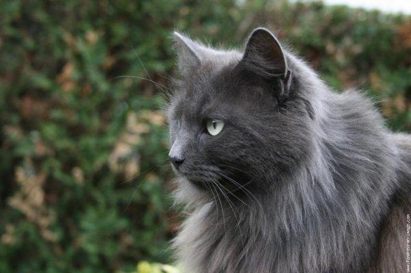 photo chat norvégien gris