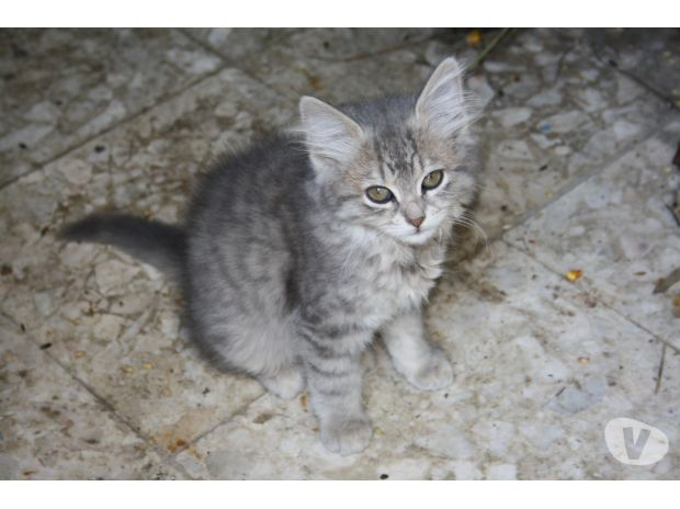 photo chat norvégien tigré