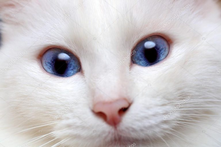 photo chat ojos azules