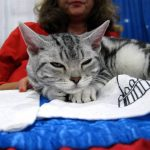 Chat American wirehair