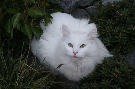 photo chat norvégien blanc