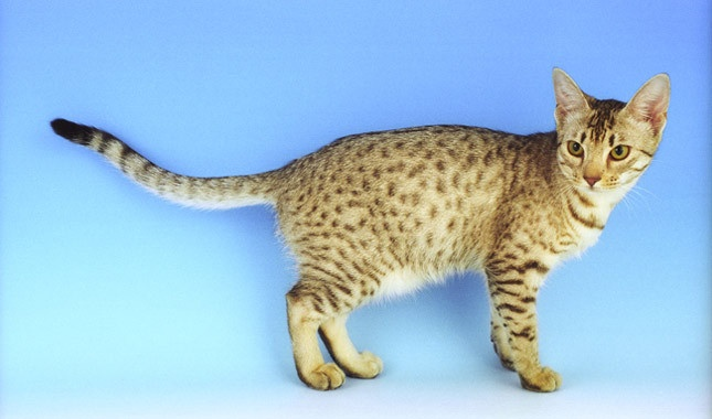 photo chat ocicat
