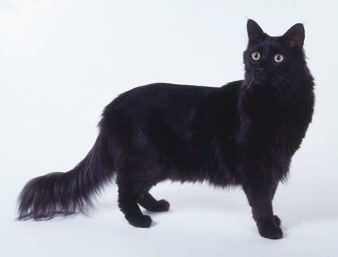 photo angora turc noir