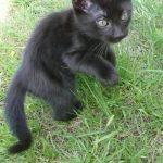 Chat bengal noir