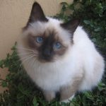 Chat birman poil court